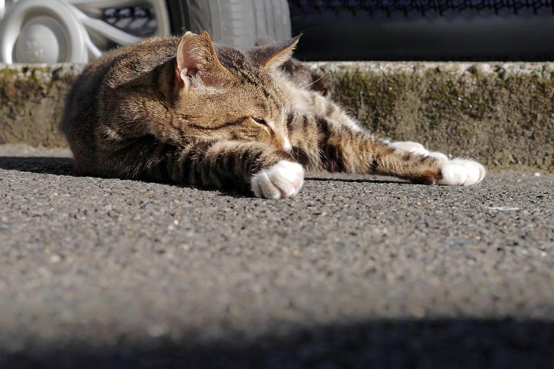 コンクリートで腹ばってるキジ白猫1
