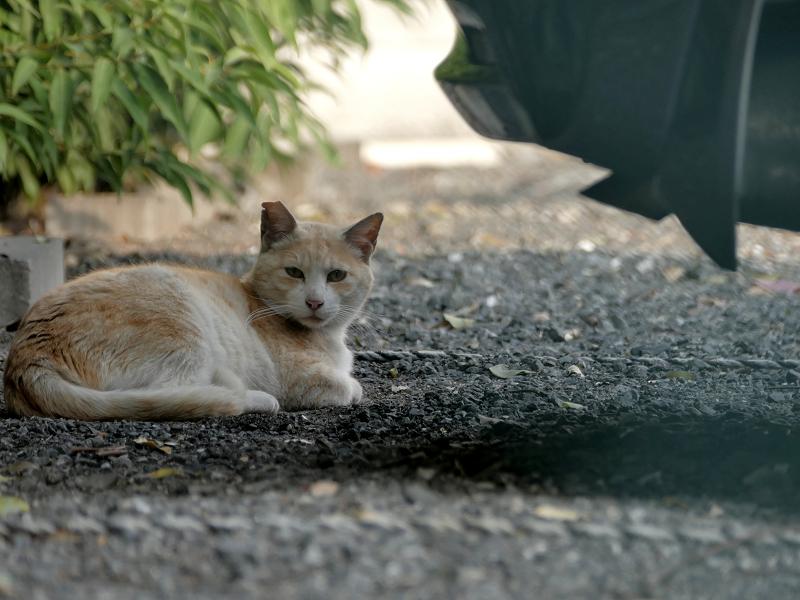 駐車場の茶白猫