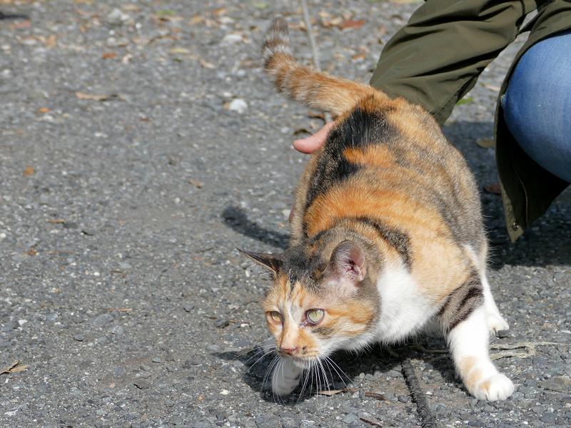 駐車場で転ぶ三毛猫1