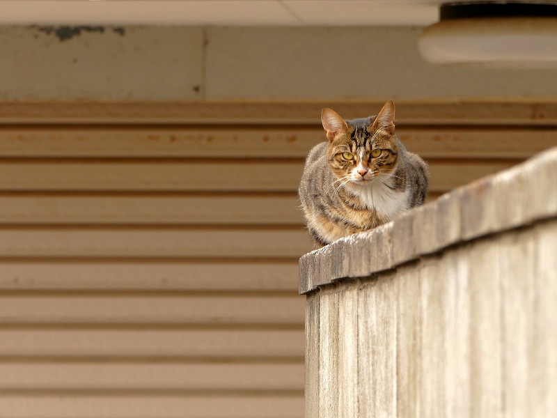 ブロック塀のキジ白仔猫1