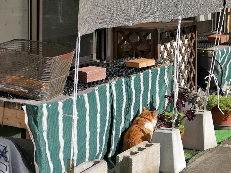 民家庭の茶トラ猫1