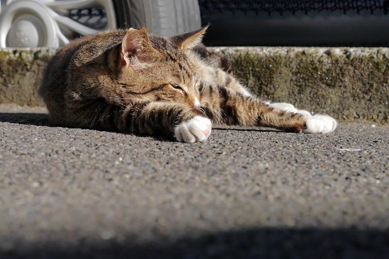 コンクリートで腹ばってるキジ白猫2