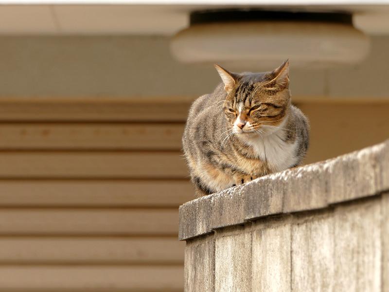 ブロック塀のキジ白仔猫2