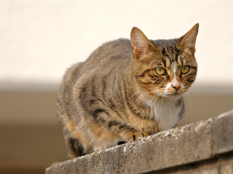 ブロック塀のキジ白仔猫3