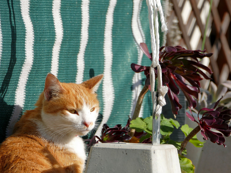 民家庭の茶トラ猫3