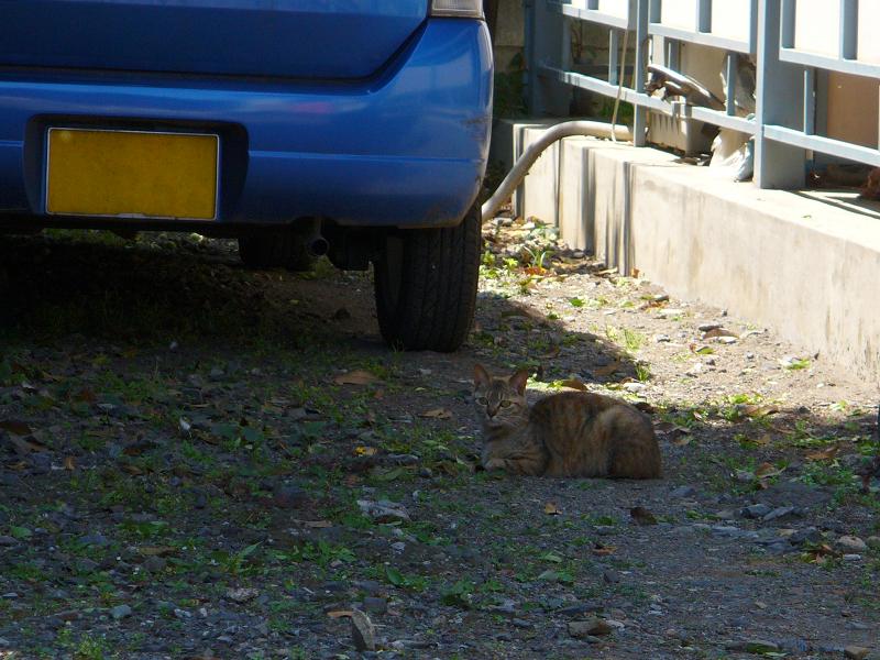 青空駐車場のキジトラ猫1
