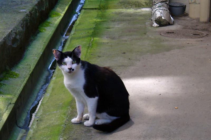 カメラを見ている黒白猫1