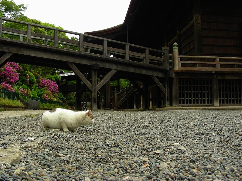 境内に降りた猫1