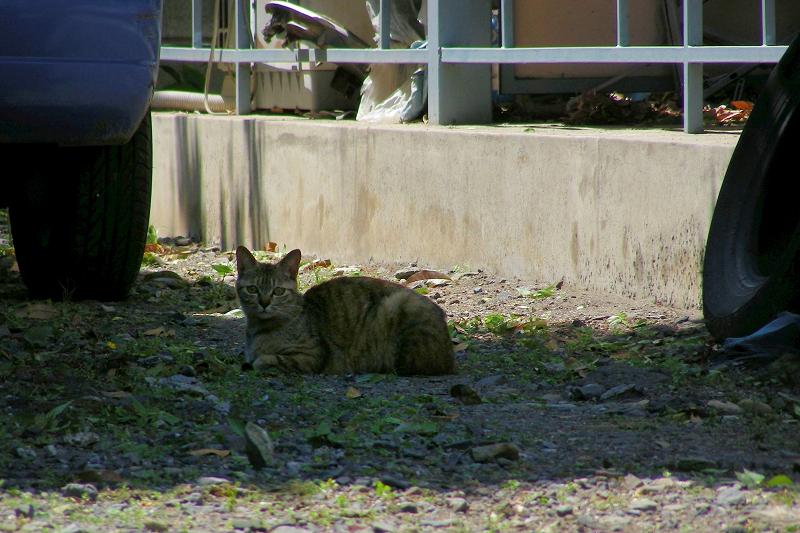 青空駐車場のキジトラ猫2