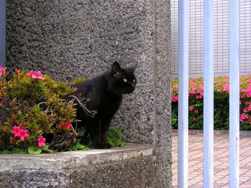 ツツジと黒猫2