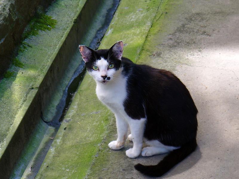 カメラを見ている黒白猫2