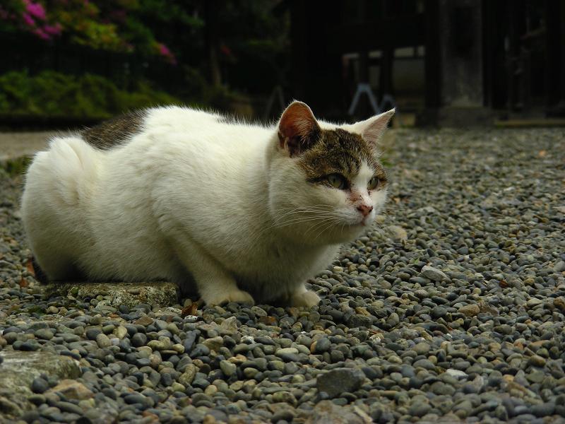 境内に降りた猫2
