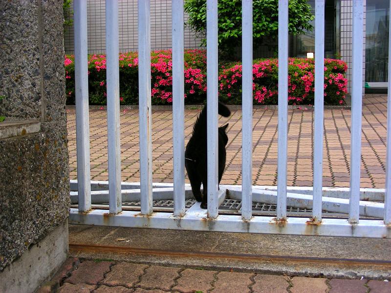 ツツジと黒猫3