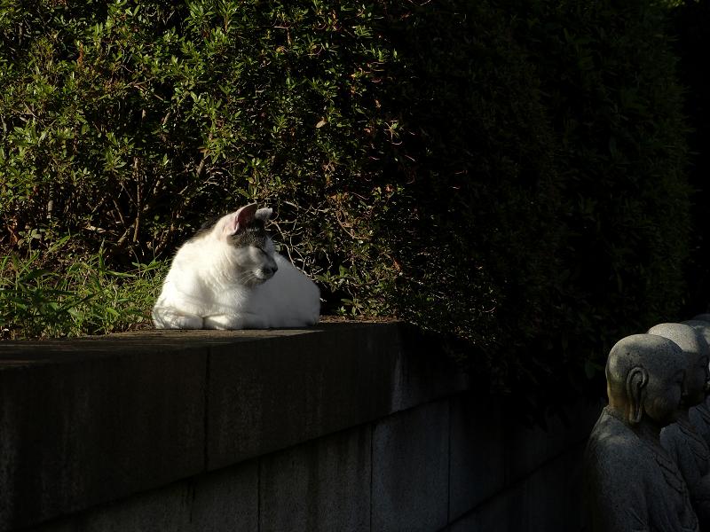 陽射しを受けてる白キジ猫1