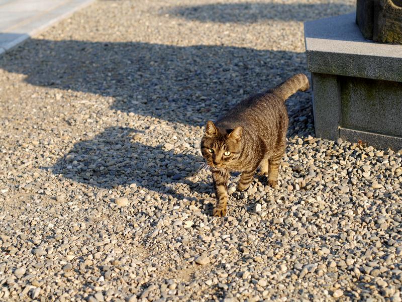 境内の玉砂利とキジトラ猫1