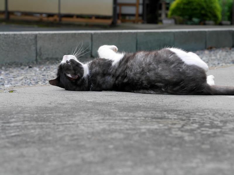 転がる薄黒白猫1
