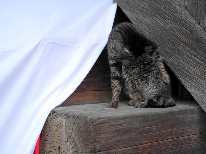 キジトラ猫のポーズ1