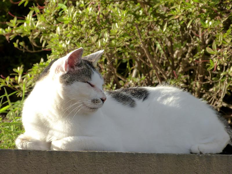 陽射しを受けてる白キジ猫2