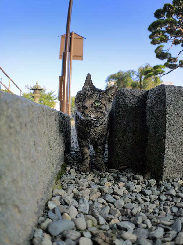 境内の玉砂利とキジトラ猫2