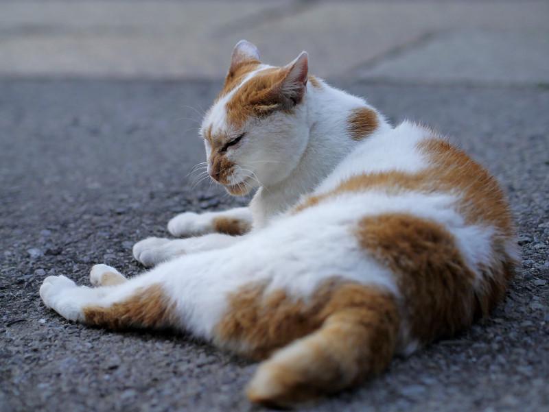 ベロ出す茶白猫2