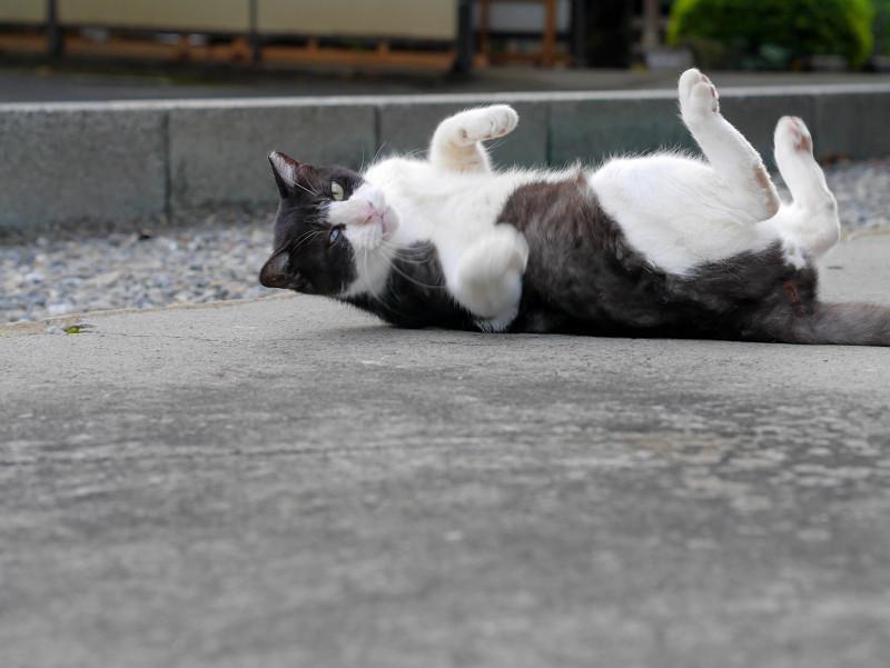 転がる薄黒白猫2