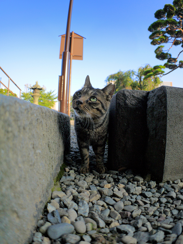 境内の玉砂利とキジトラ猫3