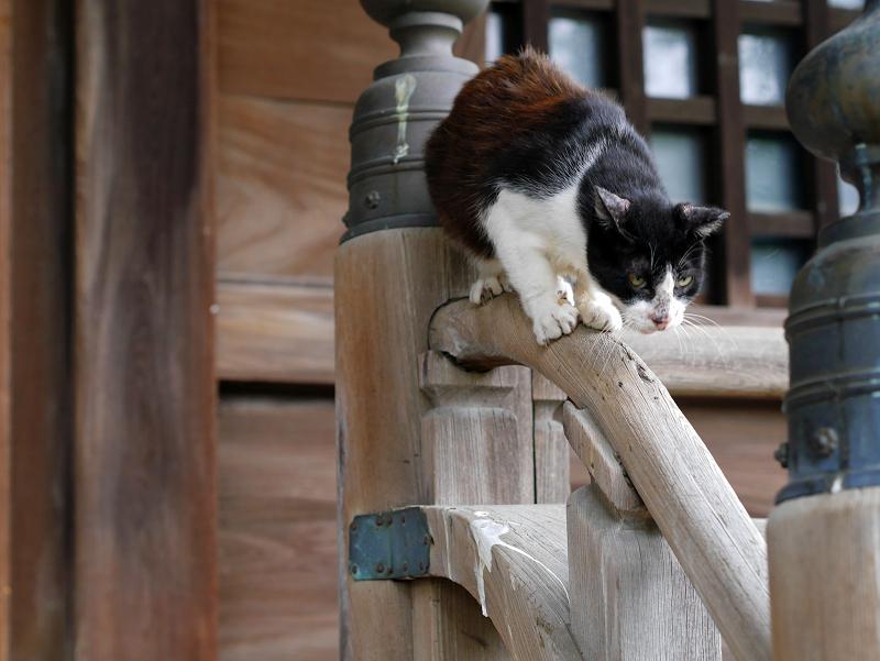 お堂階段手すりで技をみせる黒白猫3
