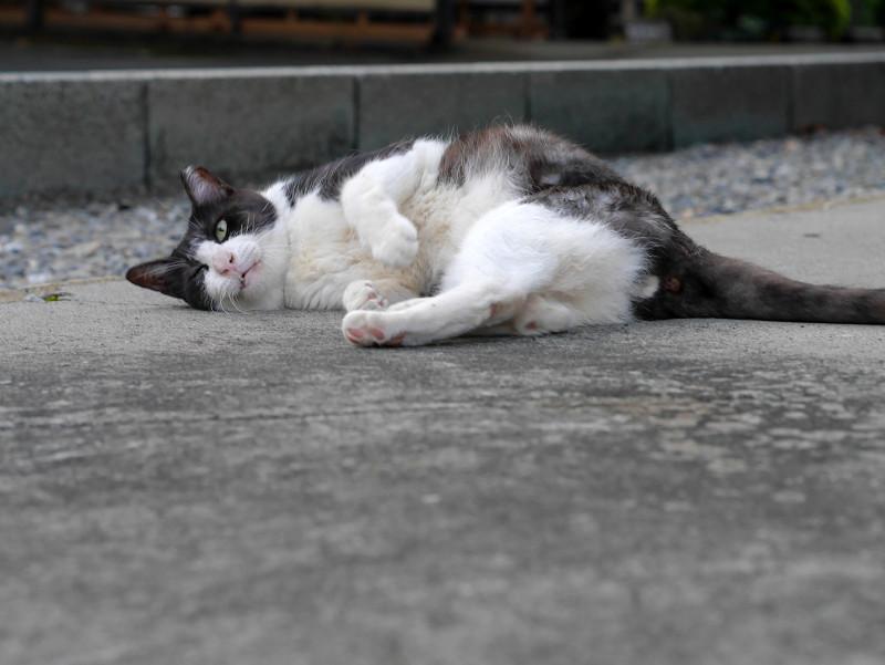 転がる薄黒白猫3