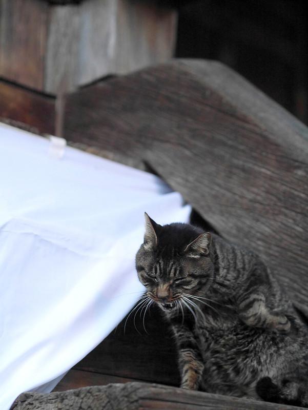 キジトラ猫のポーズ3