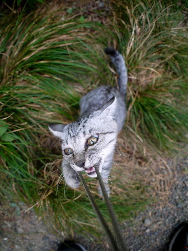 草むらで転がって遊ぶサバトラ仔猫1
