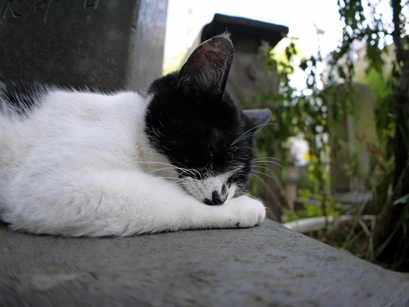 石碑で毛づくろいする白黒猫1