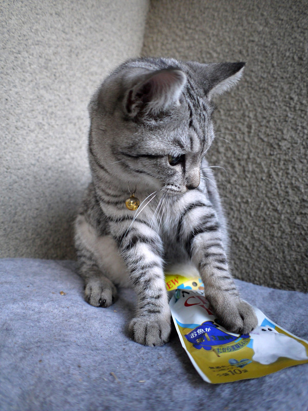 キャットフードで遊ぶサバトラ猫1