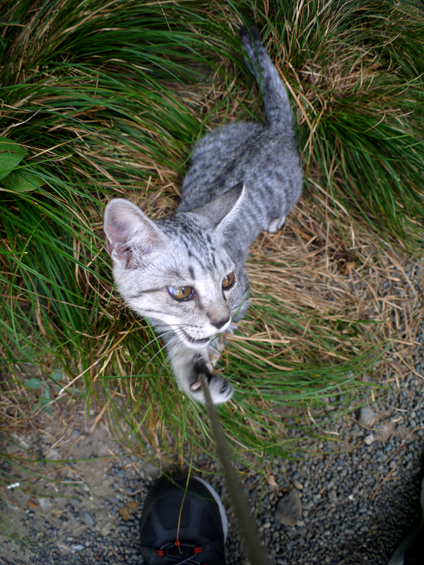 草むらで転がって遊ぶサバトラ仔猫2