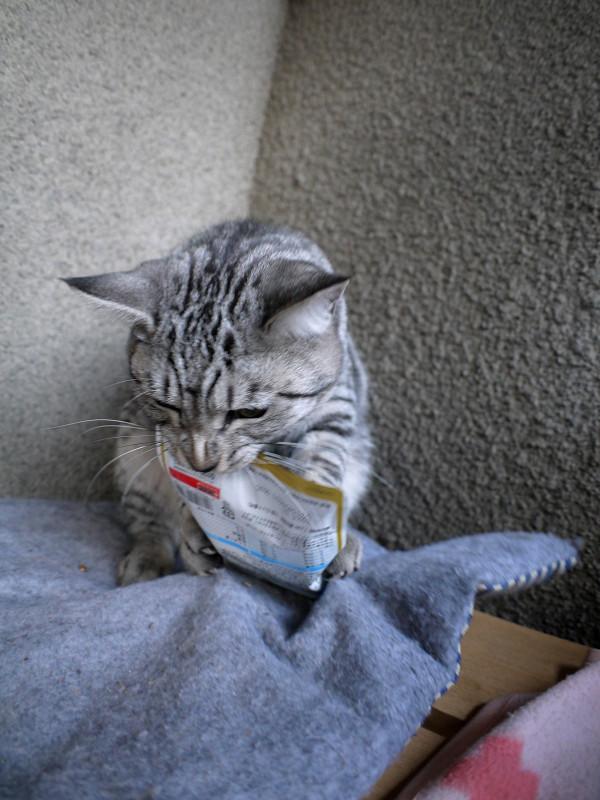 キャットフードで遊ぶサバトラ猫3