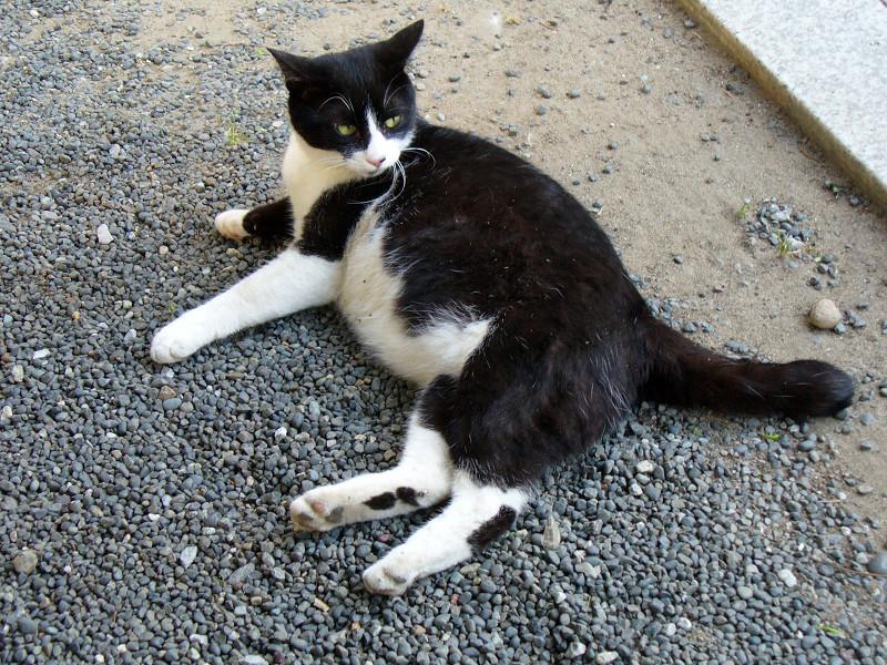 境内で横になってる黒白猫3