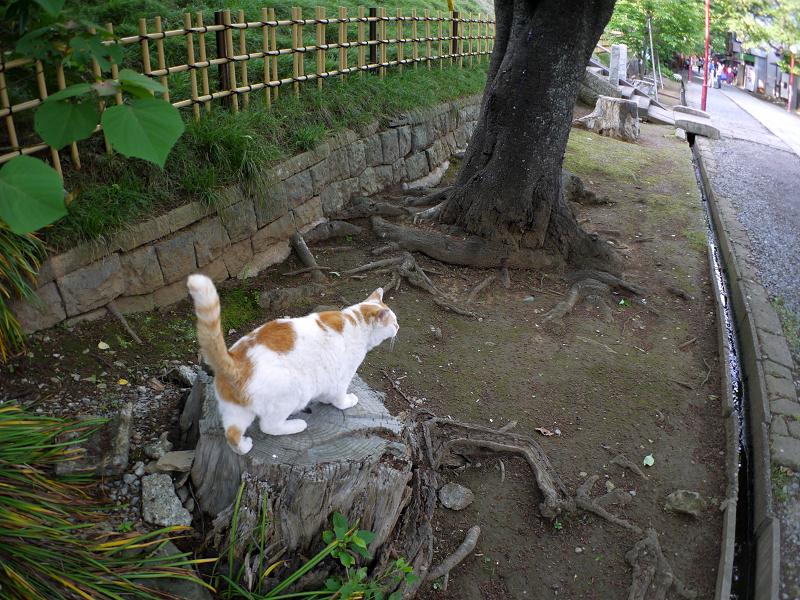 尻尾を立てて切り株に乗った白茶猫1