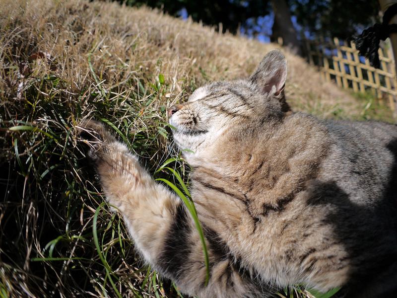 草むらで悶絶?しているキジトラ猫1