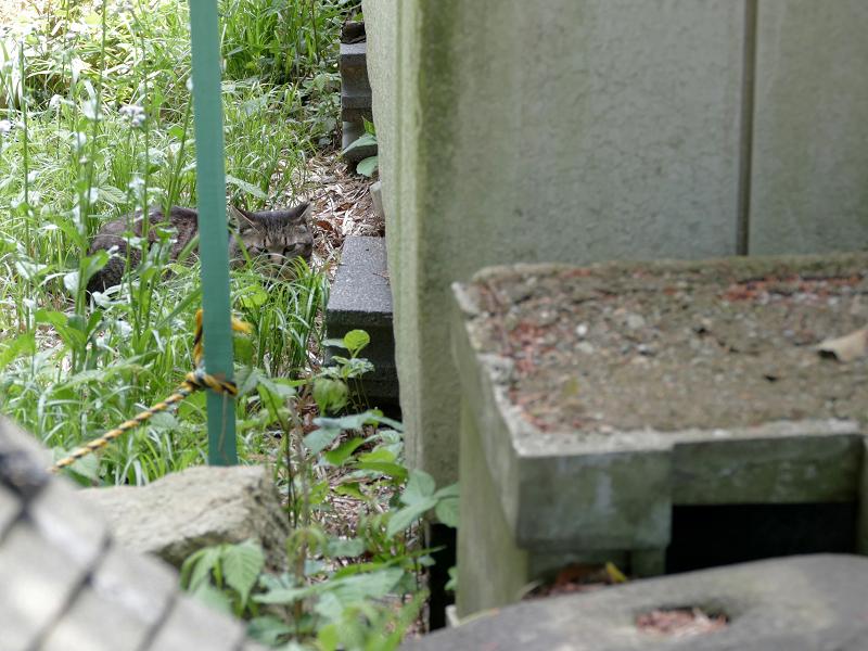 草むらから睨みつけるキジトラ猫1
