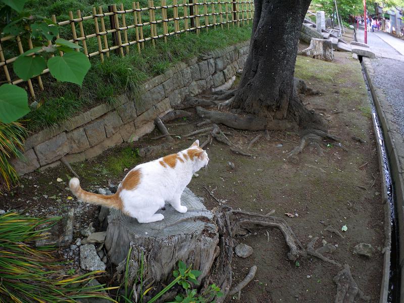 尻尾を立てて切り株に乗った白茶猫2