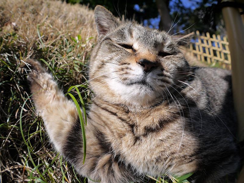草むらで悶絶?しているキジトラ猫2