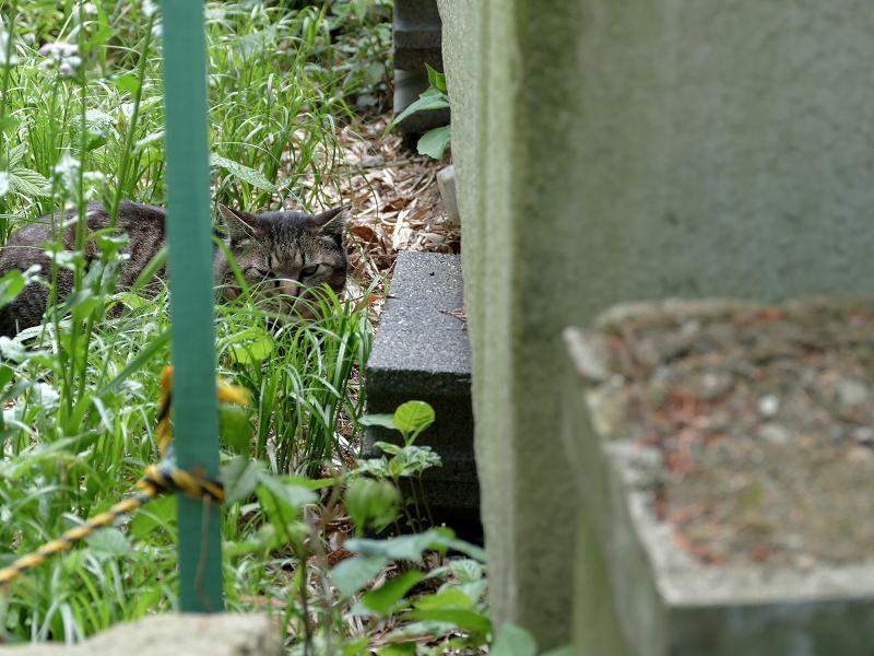 草むらから睨みつけるキジトラ猫2