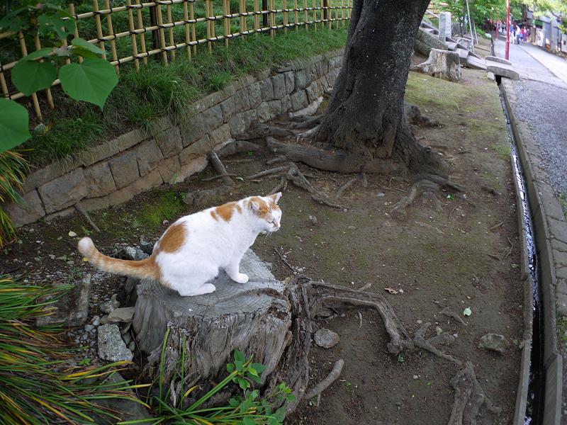 尻尾を立てて切り株に乗った白茶猫3