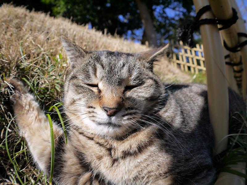 草むらで悶絶?しているキジトラ猫3
