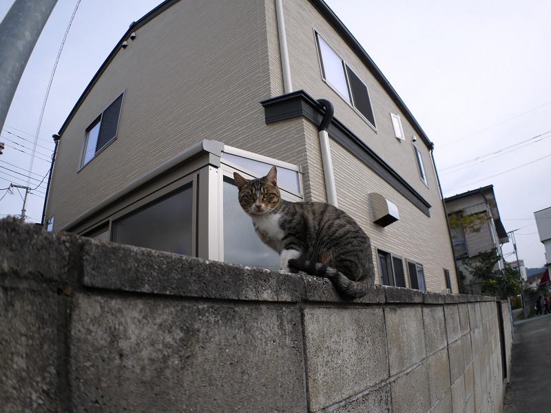 ブロック塀を動くキジ白仔猫1