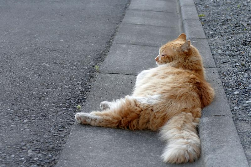 縁石で横たわる毛長の茶白猫1