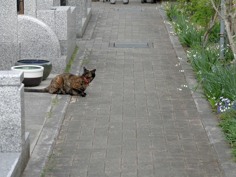 墓苑参道サビ柄猫1