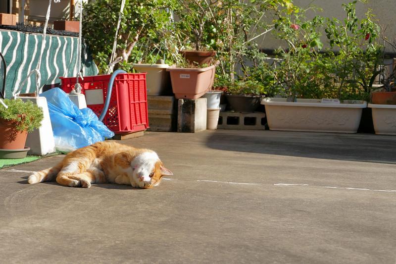 民家駐車場の茶白猫1