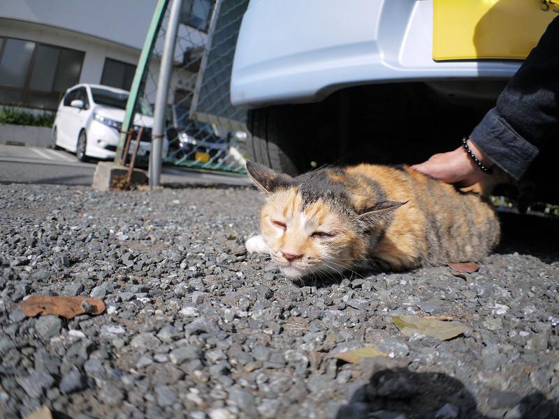 体を触られる三毛猫2