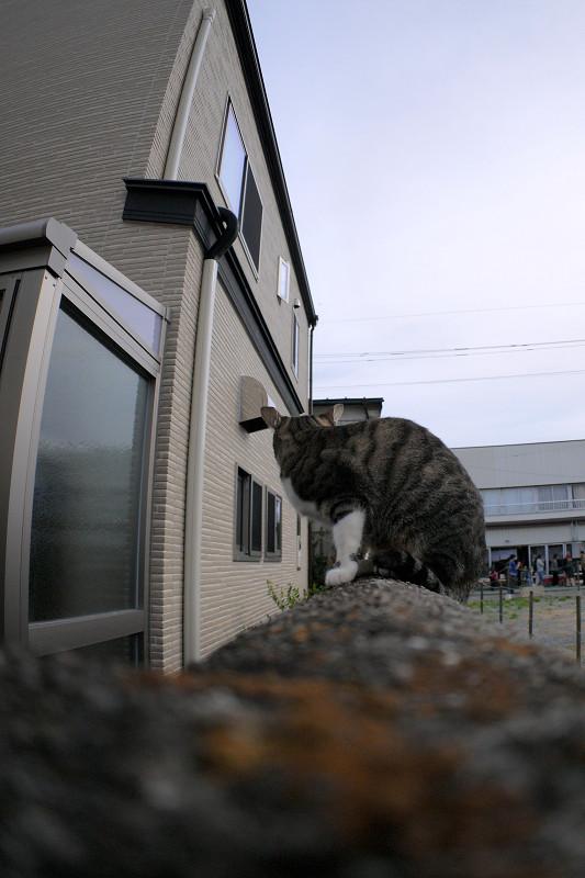 ブロック塀を動くキジ白仔猫2