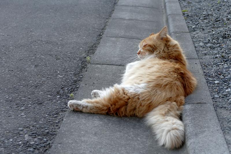 縁石で横たわる毛長の茶白猫2